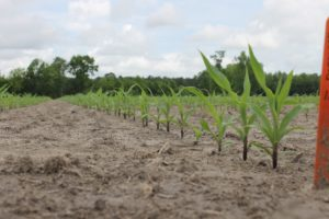 View of corn seedlings within variety trial