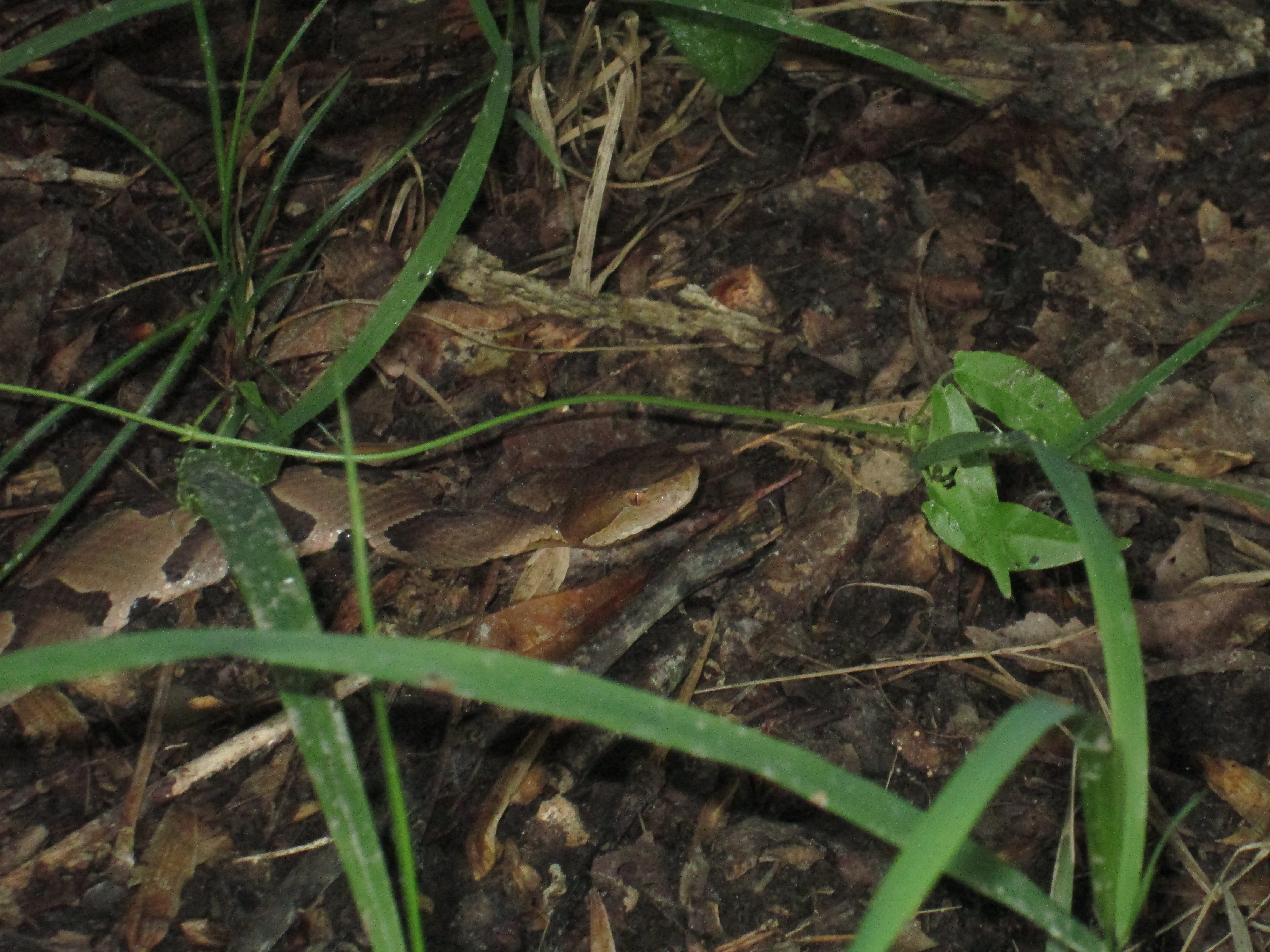 Image of a copperhead snake