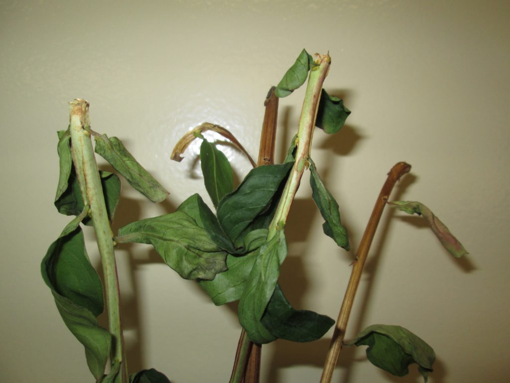Image of crapemyrtle twigs