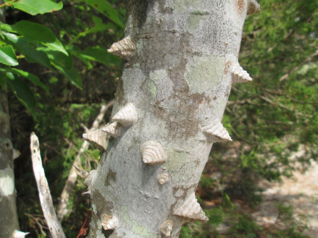 Image of zanthoxylum clava-herculis