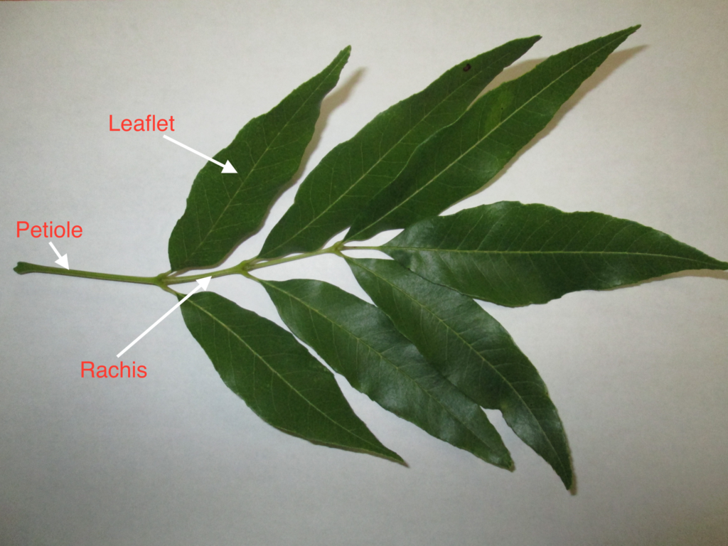 Image of a single, compound pinnate leaf of green ash (Fraxinus pennsylvanica)