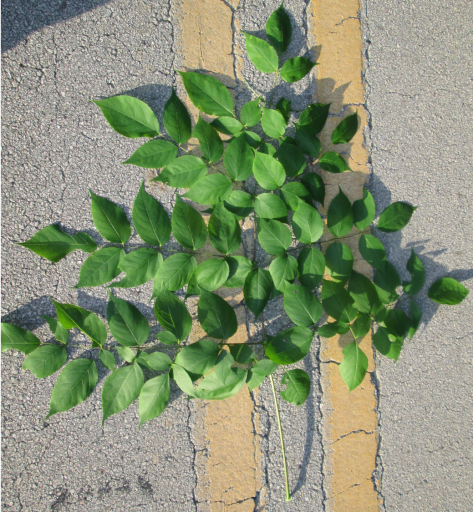 Image of large spinosa leaves