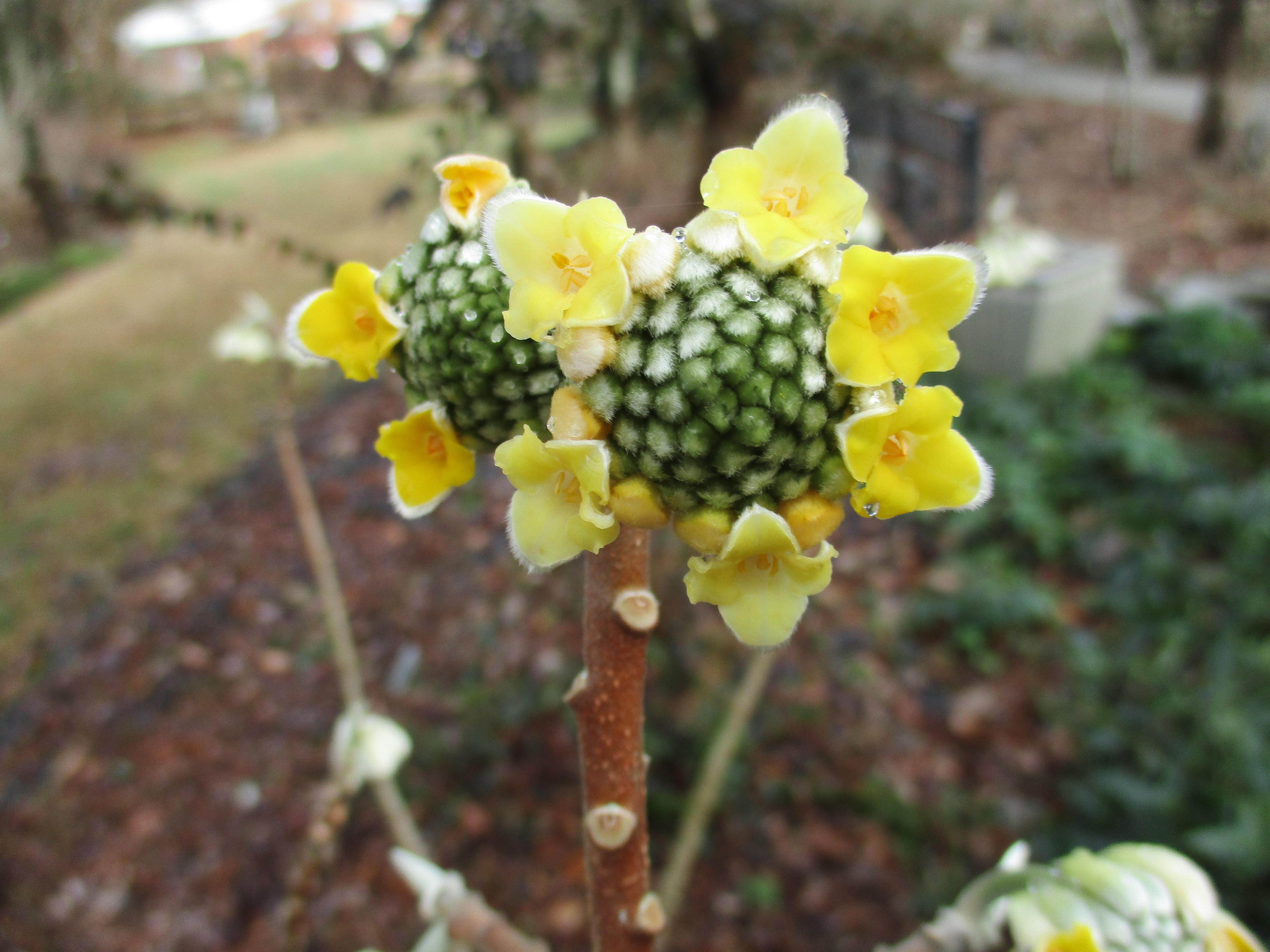 Image of Edgeworthia papyrifera flowers