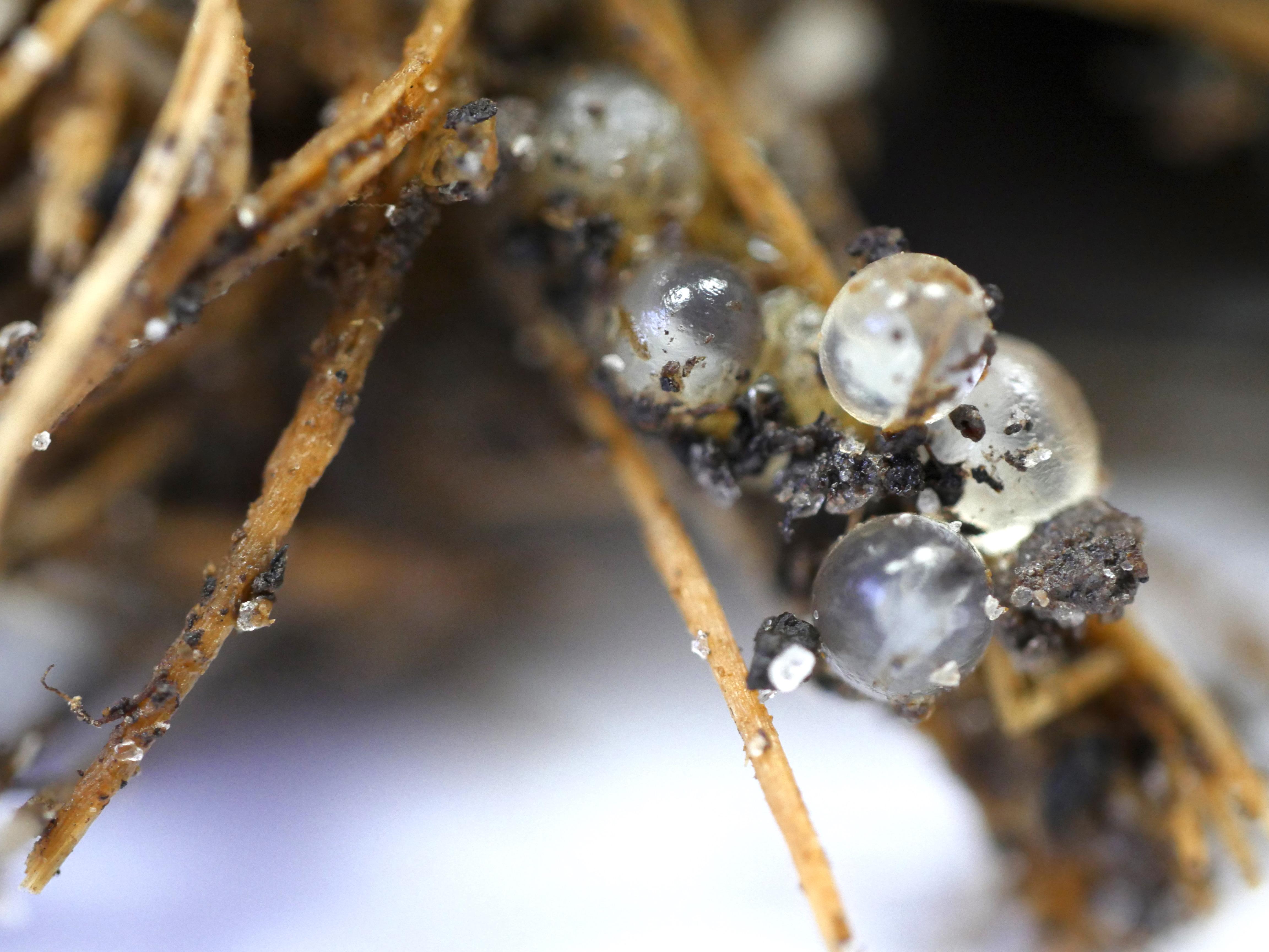 Close-up image of slug eggs