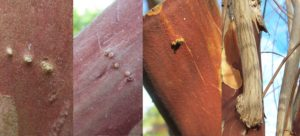 Cover photo for Epicormic Buds on Crapemyrtle