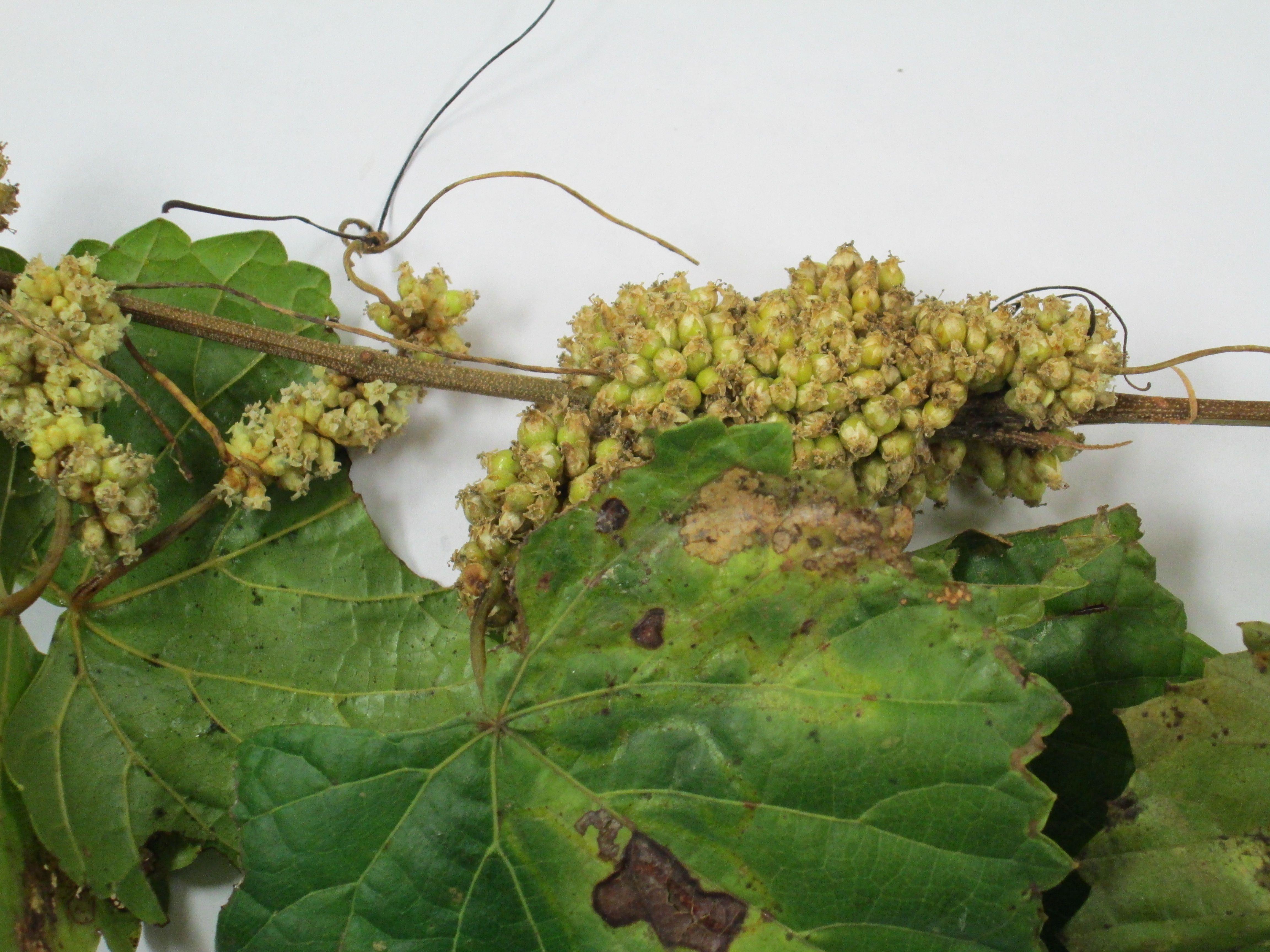 Image of dodder seeds