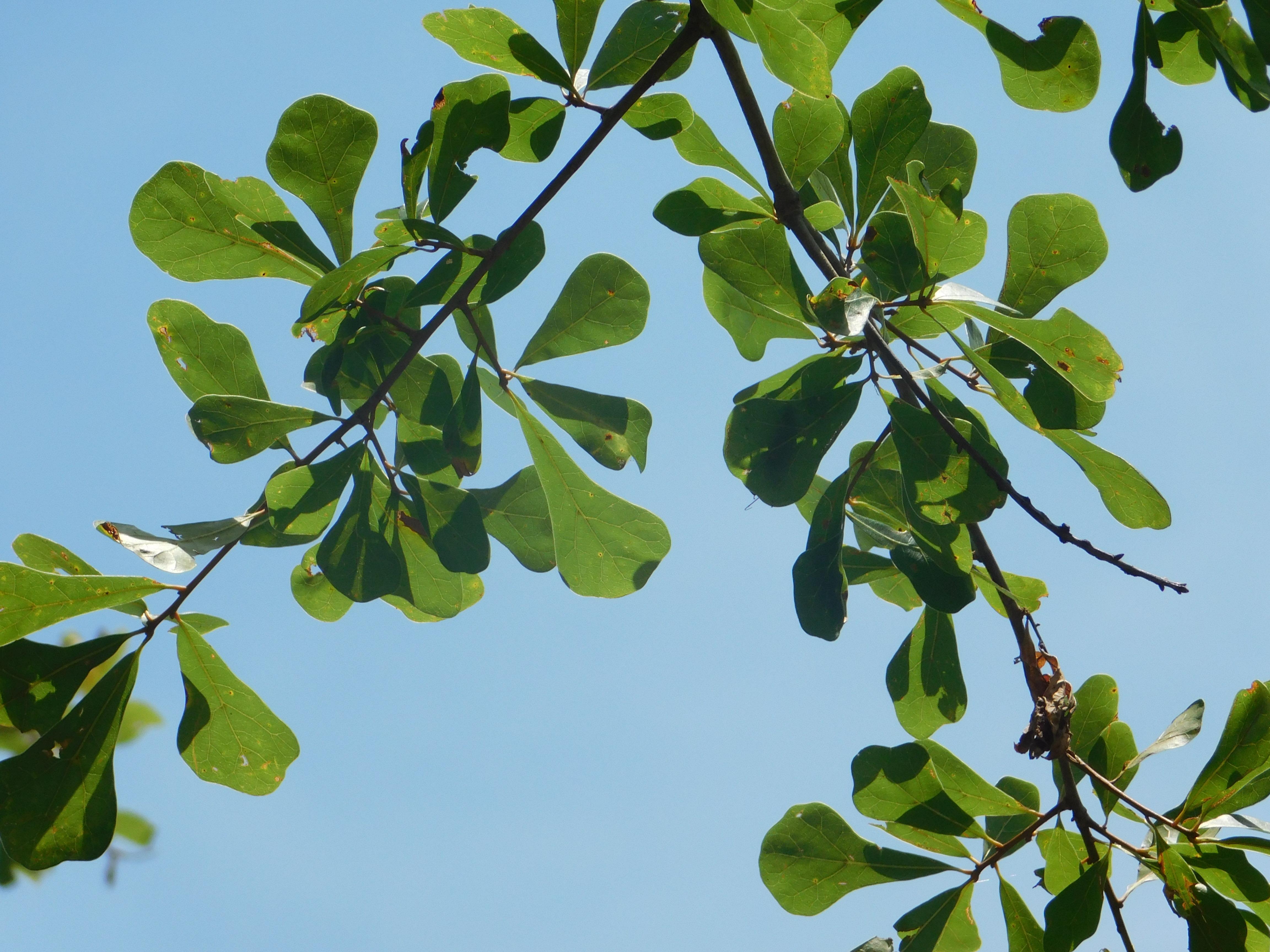 Image of a water oak