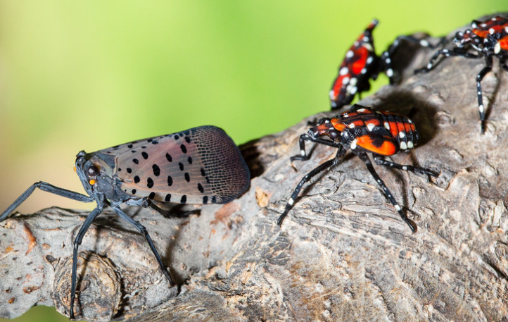 Image of spotted lanternfly