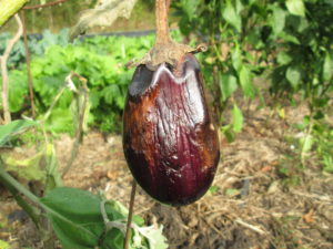 Cover photo for Fruit Rot on Eggplant