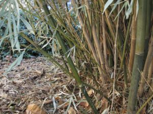 Cover photo for Clumping Bamboos