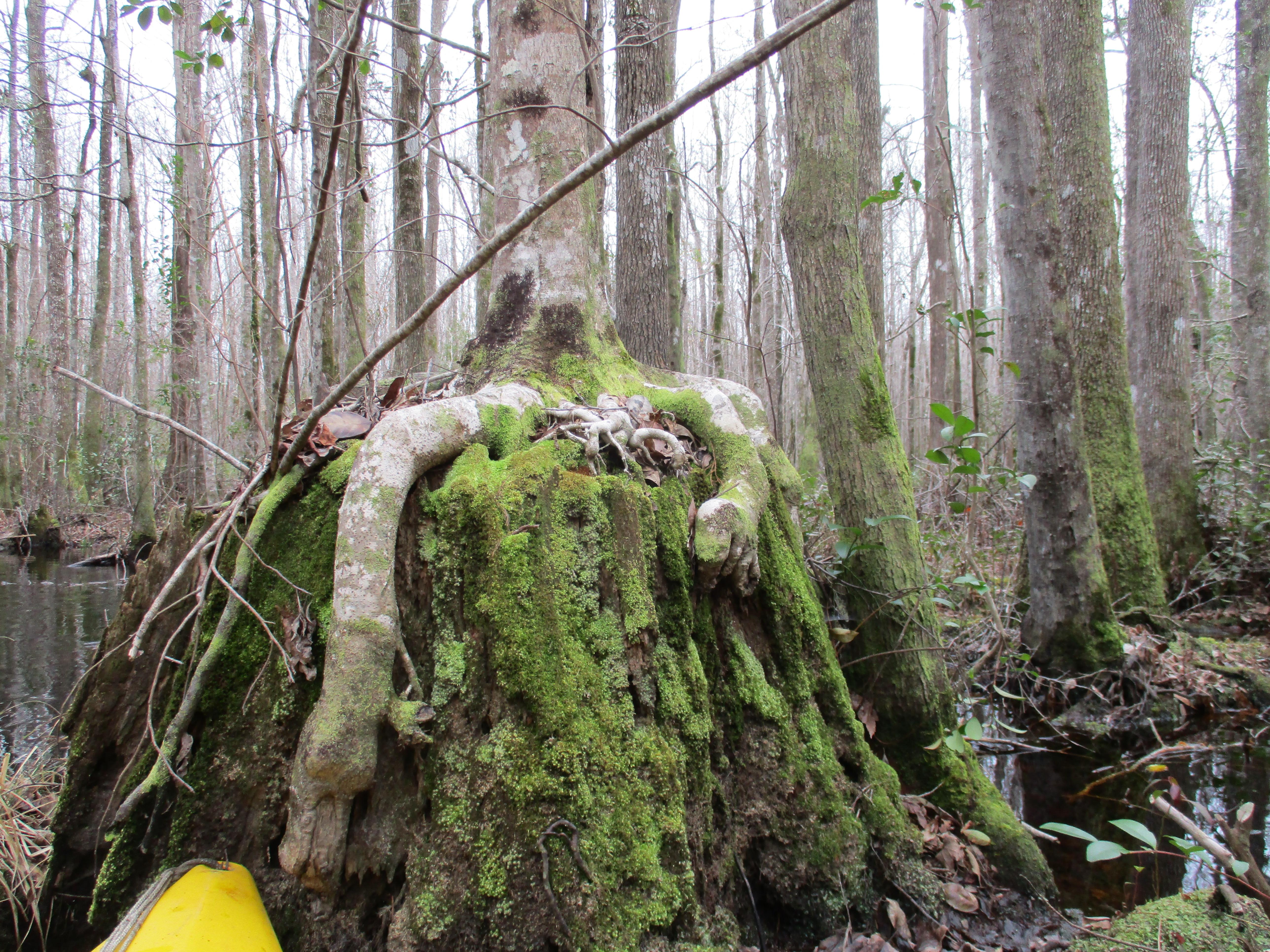 Image of stilt roots