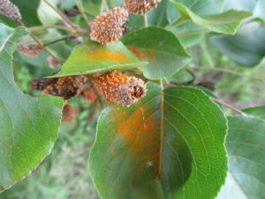 Cover photo for Rust on Callery Pear