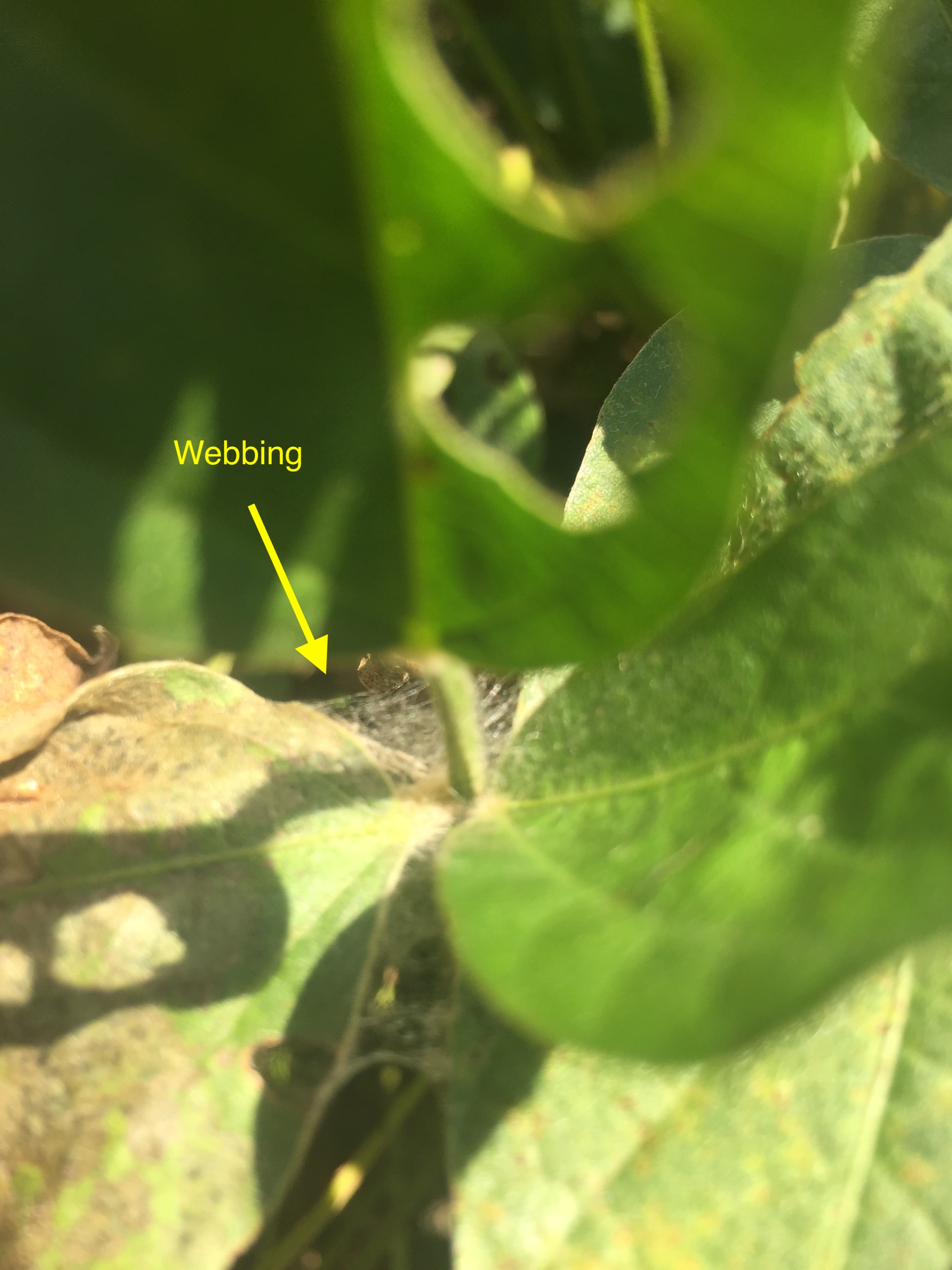 Soybean leaf with webbing from fungal growth