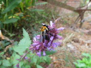 Cover photo for Consider Agastache for Pollinators and a Long Flowering Period