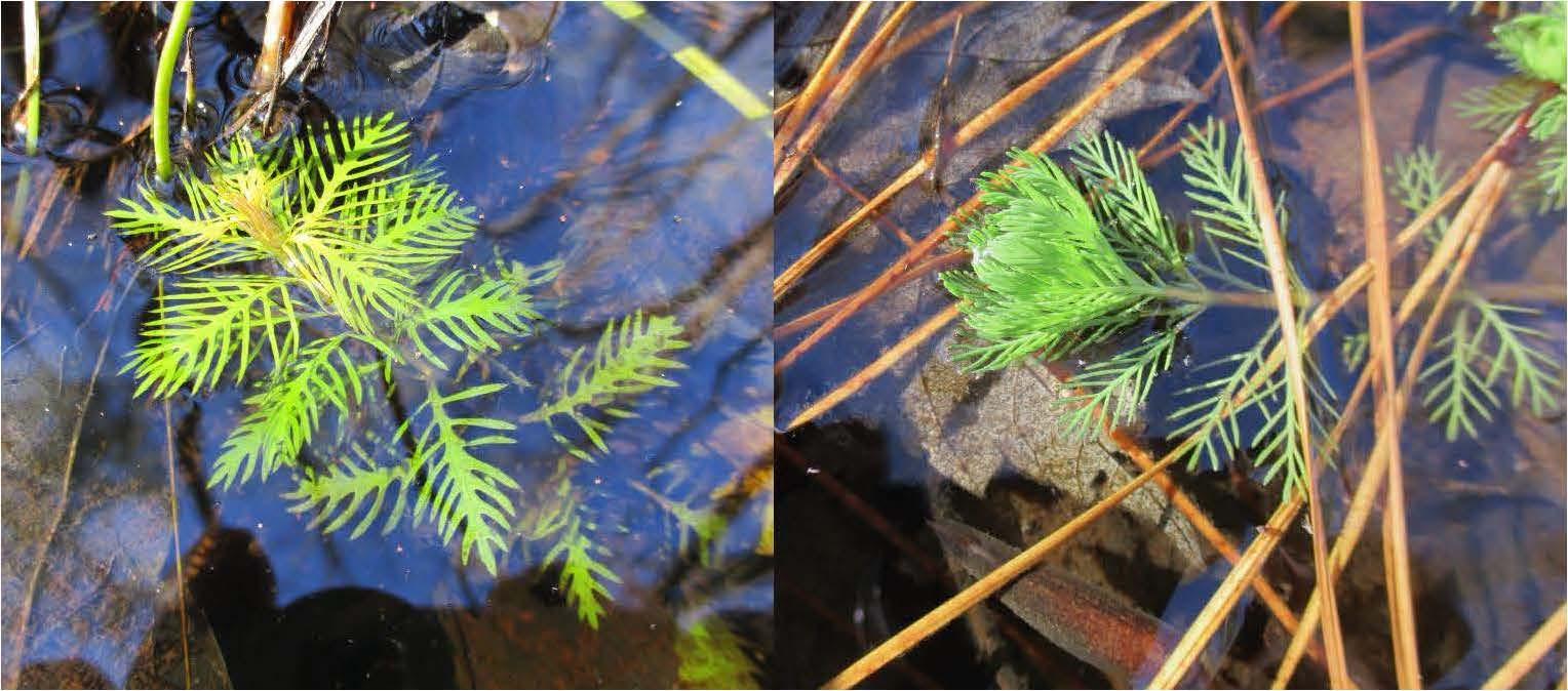 Proserpinaca and Myriophyllum