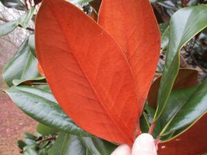 Cover photo for Southern Magnolia Leaf Variation