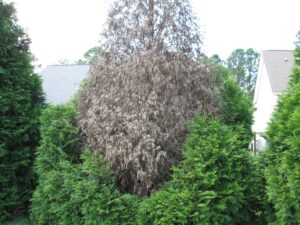 Cover photo for Privacy Screens and Plant Disease