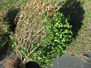 Cover photo for Boxwood Troubles:  It Might Be Nematodes