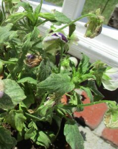 Cover photo for Twospotted Spider Mites on Pansies