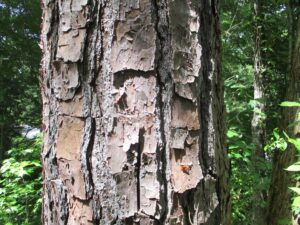 Cover photo for Loblolly, Shortleaf or Longleaf? The Bark Will Help