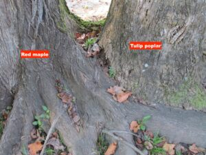 Cover photo for Root Girdling Injury to Tree Trunks